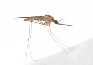 Anopheles maculipennis