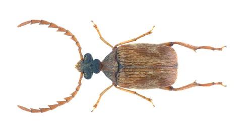 Callosobruchus chinensis