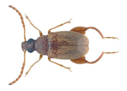 Caryedon serratus