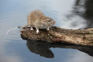 Rata comun (Rattus norvegicus norvegicus )