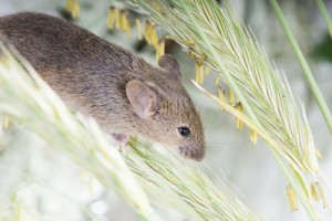 Raton comun (Mus musculus )
