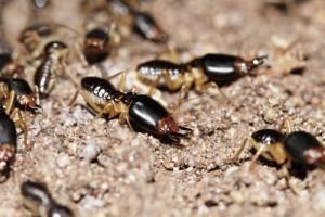 termitas soldado